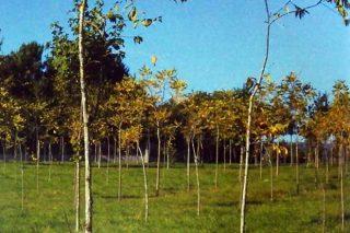 Plantacións de nogueira para producir madeira, manexo e rendibilidade