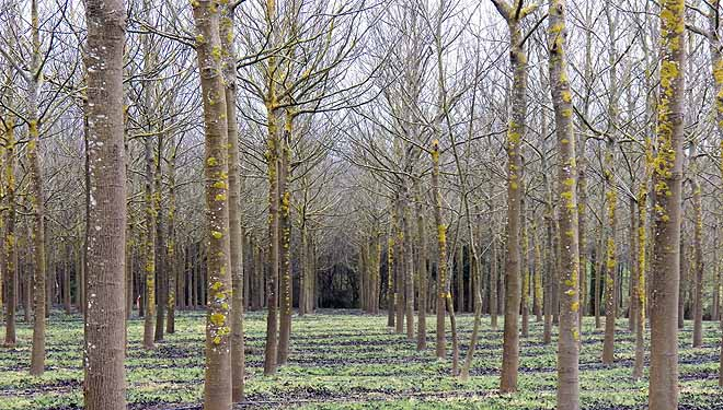 Plantación de nogueiras en Boimorto.