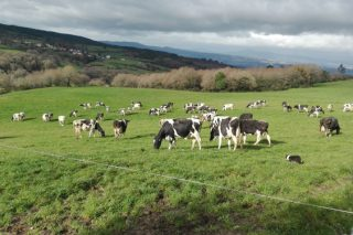 La Xunta regulará la leche de pastoreo y dará ayudas para instalar collares GPS a las vacas