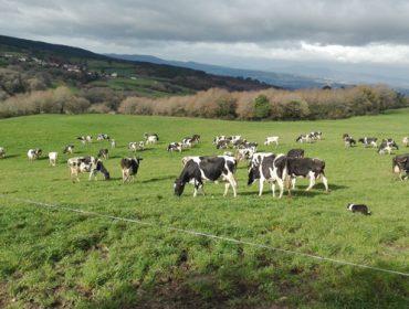 A Xunta regulará o leite de pastoreo e dará axudas para instalar colares GPS ás vacas