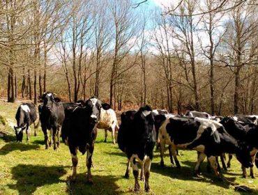 Sete gráficas que explican os retos do leite galego