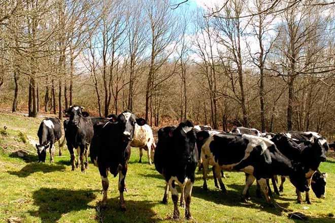El precio de la leche comienza a remontar en España pero no en Galicia