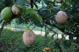 Aviso fitosanitario en cítricos e horta