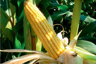 Descubren que cuanto más dura la fotosíntesis del maíz mayor es su rendimiento