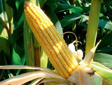 Descobren que canto máis dura a fotosíntese do millo maior é o seu rendemento