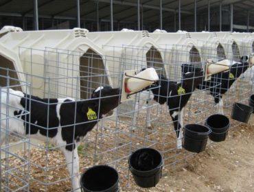 """""""Dando máis leite e xuntando as becerras medran máis e serán vacas máis produtivas"""""""