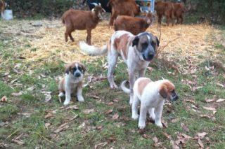 Denuncian que os ataques do lobo provocan o peche do 7% das ganderías de ovino e caprino en Galicia