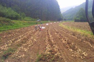 Establecidas indemnizacións pola couza da pataca e outras tres pragas vexetais