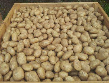 A couza da pataca entra en Bergantiños, unha das principais comarcas pataqueiras