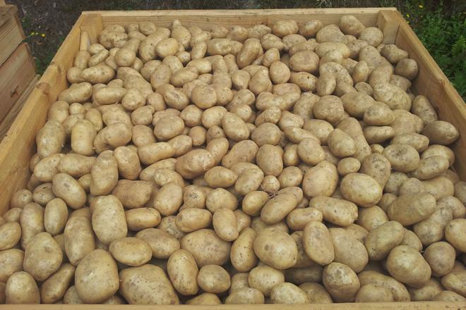 Claves para un almacenaxe axeitado das patacas