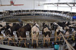 Así é o tamaño das granxas de vacún de leite en cada Comunidade Autónoma