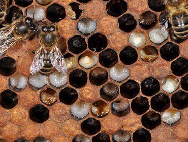 ¿Cómo controlar la loque en las colmenas?