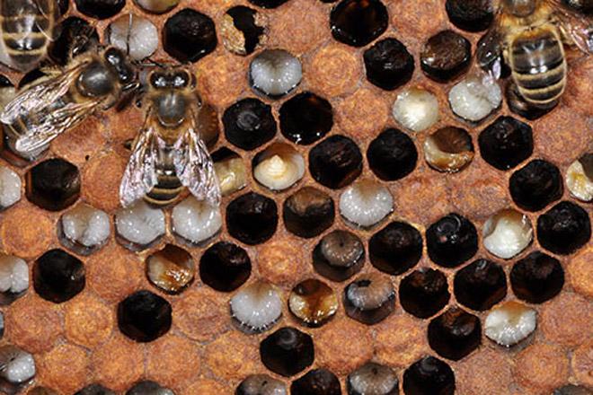 abella_loque_europea