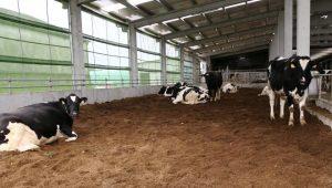 Cama fría de compost para as vacas secas.
