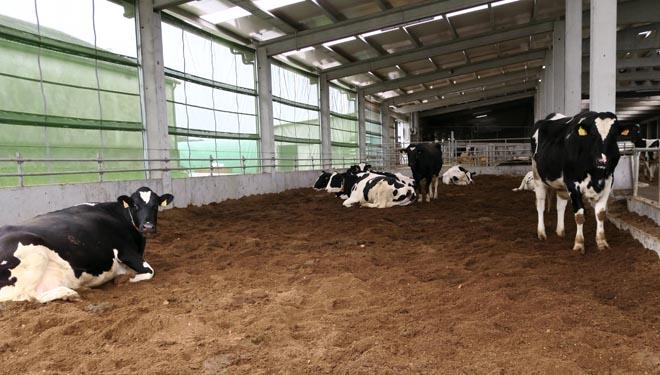 Cama fría de compost para las vacas secas.