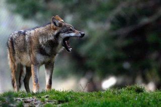 ¿Como xestiona Francia o lobo e que podemos aprender en Galicia?