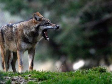 """""""Deben reforzarse as axudas de prevención do lobo, o custo da convivencia non pode recaer nos gandeiros"""""""