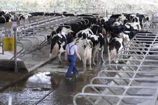 Vídeo: ¿Como mover con xeito unha vaca?