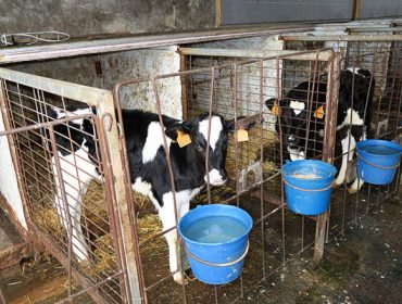 Sin cambios en el precio del ganado en Amio