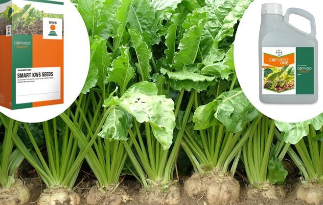 As novas variedades de remolacha van simplificar o control de malas herbas, co uso dun so herbicida.