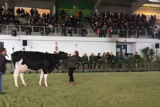 Media de 2.596 euros por animal na Poxa de Gando Frisón de Santa Comba