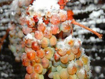 Vinos crioconcentrados con variedades tradicionales de Galicia: Cómo elaborarlos y resultados