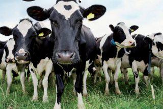 Listaxe das mellores femias xenómicas Holstein de España