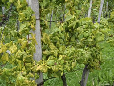 Xylella fastidiosa en viñedo: como identificala e métodos de control
