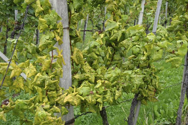 Xylella fastidiosa en viñedo: como identificarla y métodos de ...