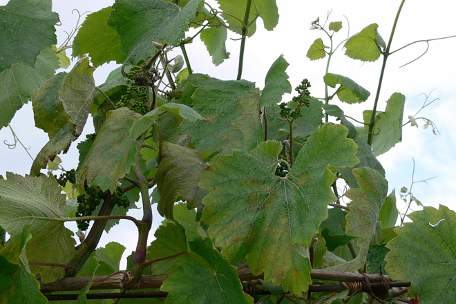 Control del mildiu en viñedo: ¿Qué productos naturales son eficaces?