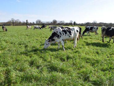 ¿Qué vacas emiten más gases contaminantes: las que pastan o las que están estabuladas?
