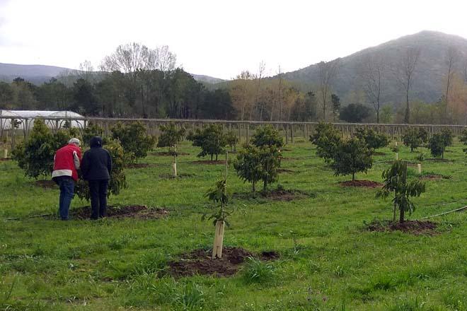 Plantación de aguacates en Tomiño.