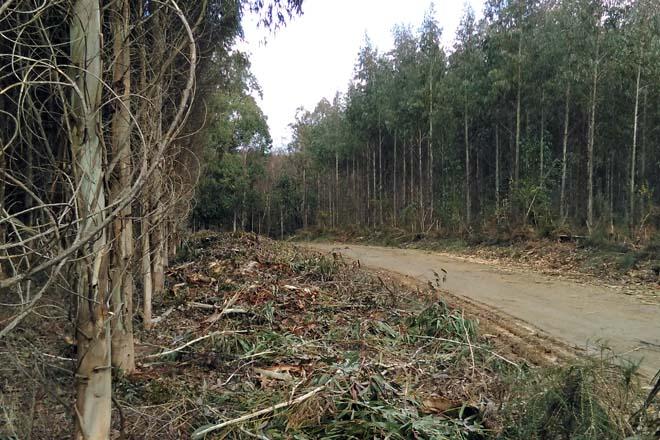 Poderase plantar eucalipto nitens no interior de Lugo en tanto non se regule a suspensión temporal