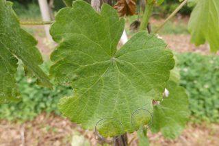 Recomendacións para o coidado do viñedo durante os próximos días