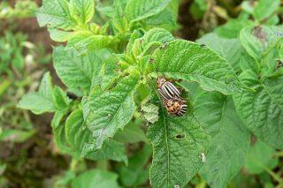 Recoméndase empezar a tratar contra o escaravello da pataca
