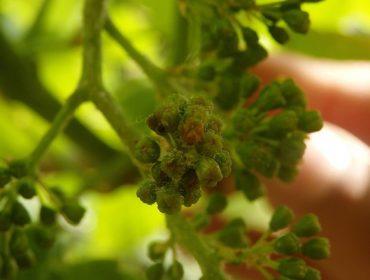 Areeiro advirte da elevada sensibilidade das viñas ao mildeu no inicio da floración