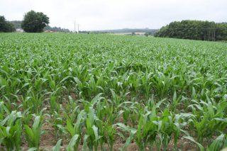 O seguro de millo pode contratarse ata o 5 de maio