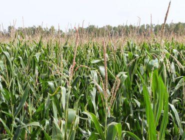 Os abonos  ENTEC®: ¿Por que proporcionan maior produtividade e mellor calidade no millo forraxeiro?