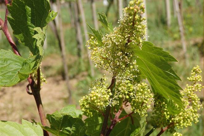 Bo desarrollo das viñas sen avance do mildeu e  do oídio
