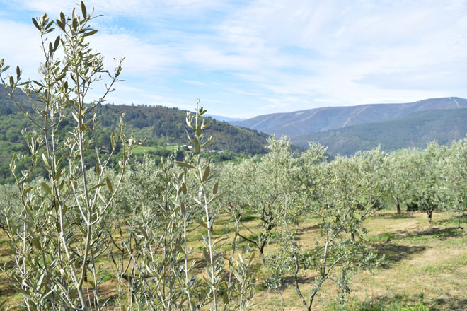 Xornada sobre o oliveiral galego en Boborás
