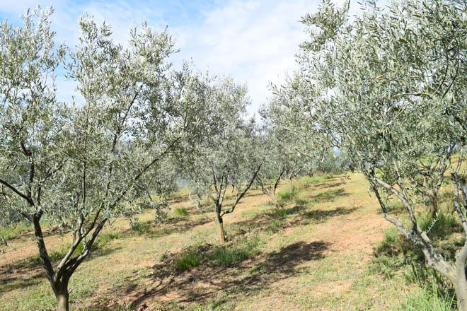 Curso de cultivo e poda da oliveira galega na Estrada