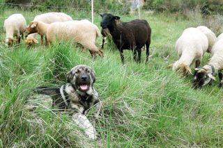 Un perro de guarda de Galicia para ovejas francesas