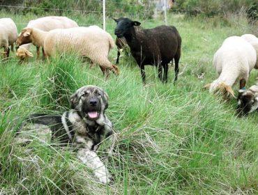 Un can de garda de Galicia para ovellas francesas