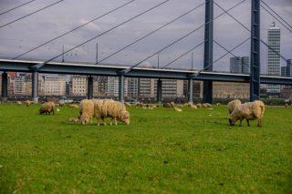El pastoreo de los parques urbanos, una tendencia en Europa que llega a Galicia