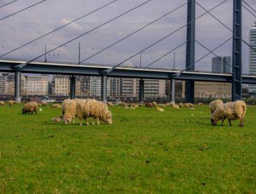 O pastoreo dos parques urbanos, unha tendencia en Europa que chega a Galicia