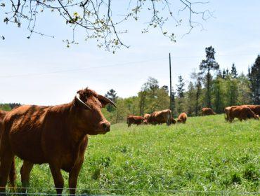 Unións avoga por novas axudas Covid para as granxas profesionais de vacún de carne