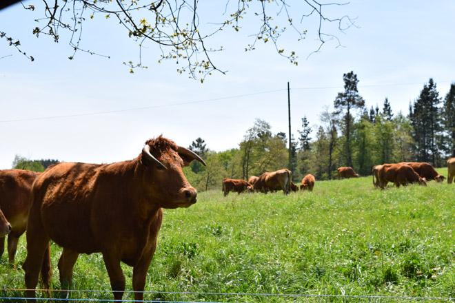 Curso no Coristanco de iniciación e mellora da ganadería de vacún de carne