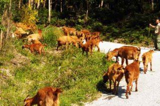 Curso en San Sadurniño sobre iniciación e mellora da gandaría de ovino e caprino