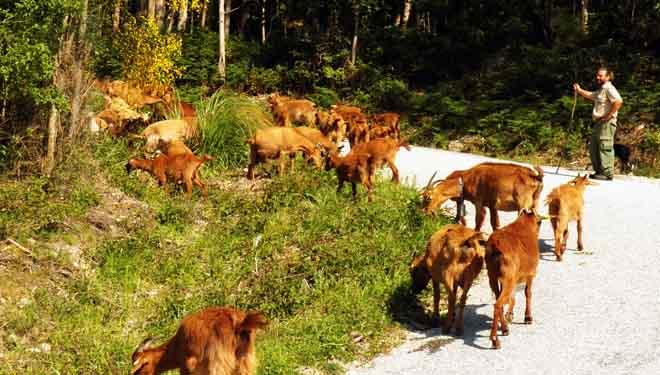 'Cabras bomberas' en el monte vecinal de Meira