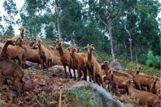 'Cabras bombeiras' no monte veciñal de Meira